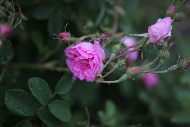 Damascener Rose