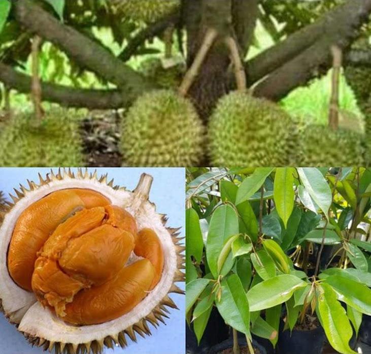 Bibit Durian Ochee Duri Hitam Bibit Durian Okulasi Bengkulu