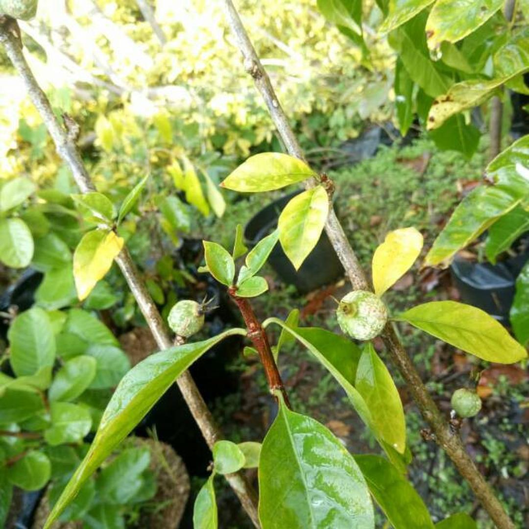 Melayani Eceran! Bibit Buah Tanaman Blueberry Jam Kota Surabaya #bibit buah genjah murah