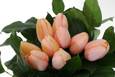 menton french tulips