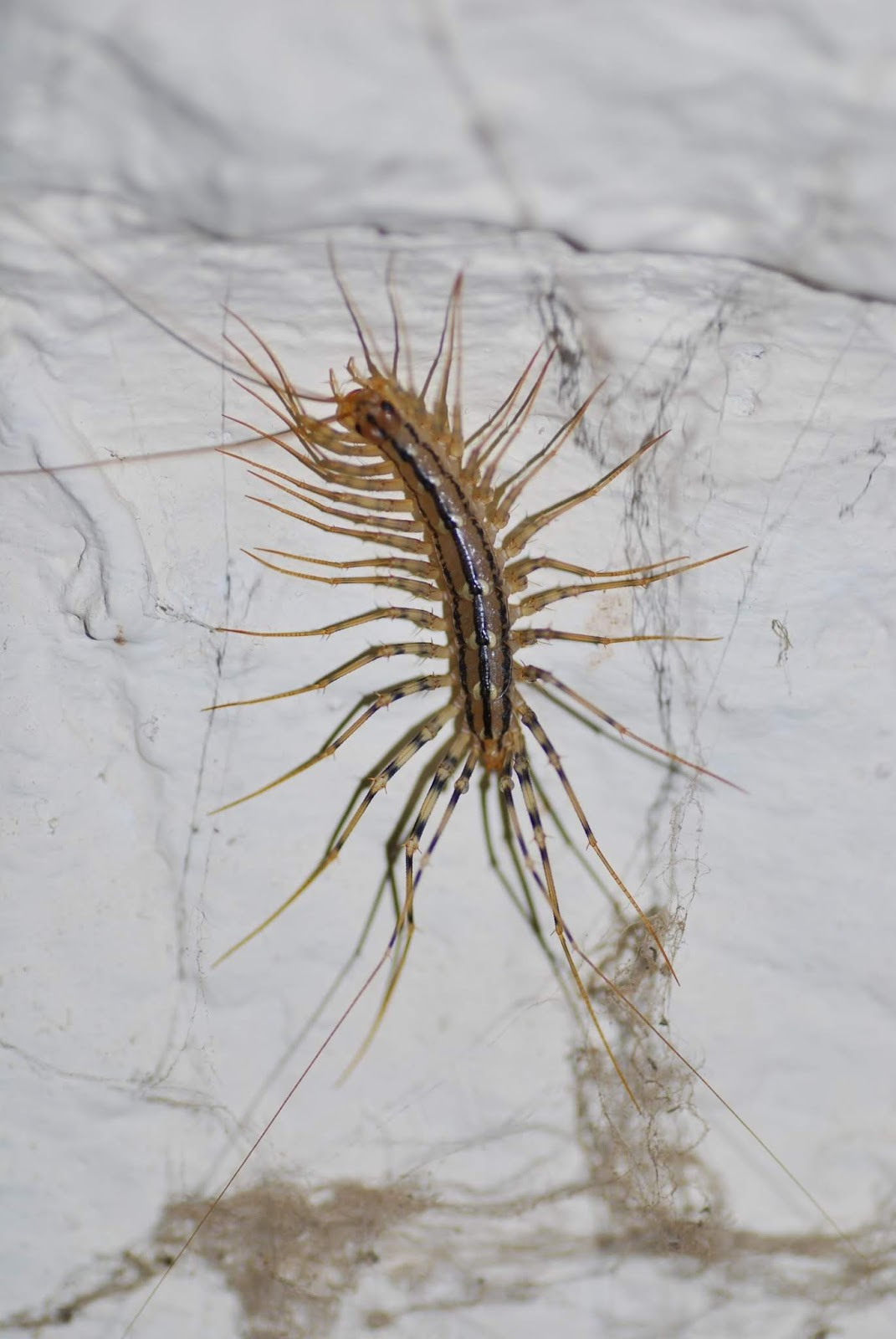 French wildlife and beekeeping: House Centipede - la