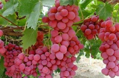 Panduan Teknis Budidaya Anggur Merah