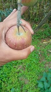 harga apel malang di bandung