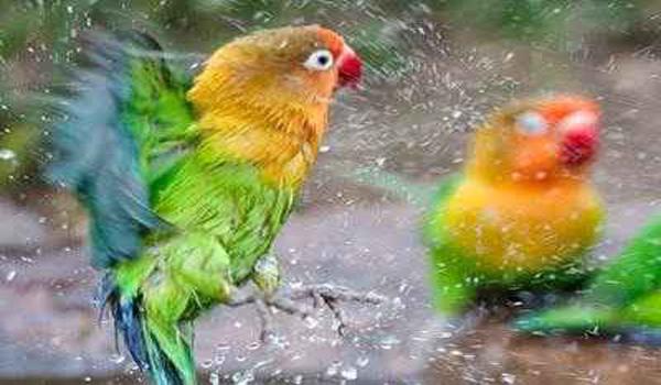 melatih napas lovebird