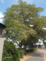 Persian silk tree, Rotorua - North Island, New Zealand