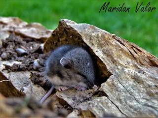 Eek! a mouse! by Maridan Valor  #Idaho #mouse #photography #nature #blogger