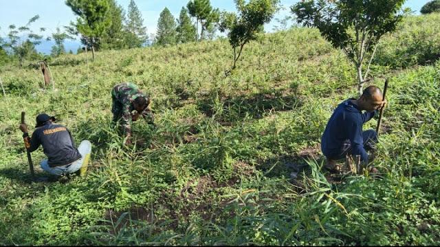 103 Hari Masa Tanam, Babinsa Dan Pemuda Kreatif Pantau Pertumbuhan Hingga Bersihkan Rumput