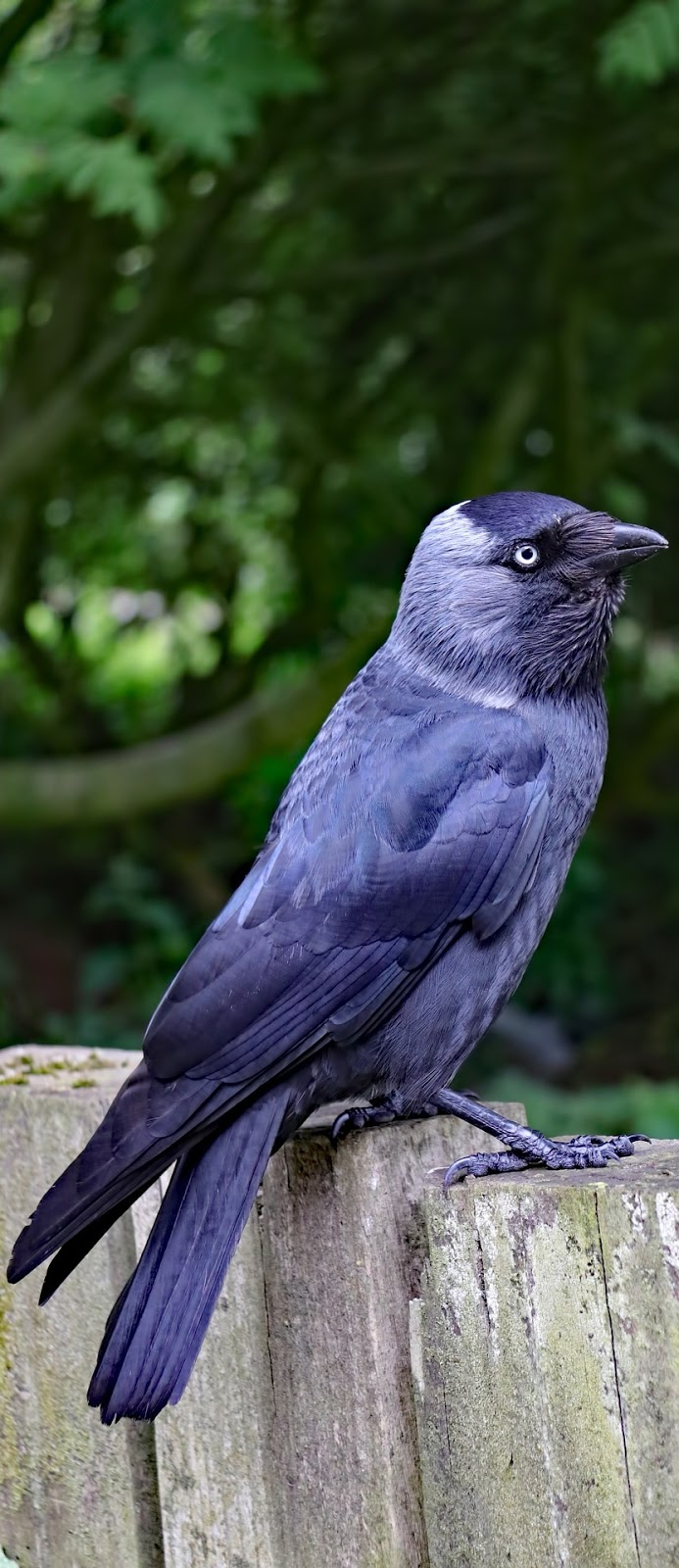 Picture of a western jackdaw.