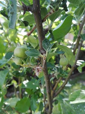 Maggio nell'orto biologico: mele fuji