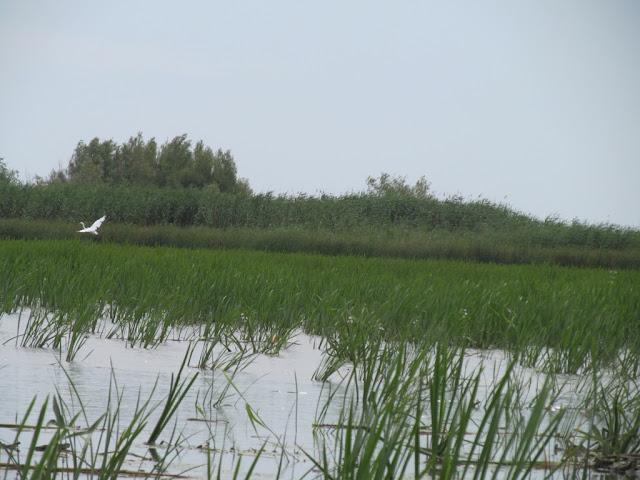 egreta alba delta