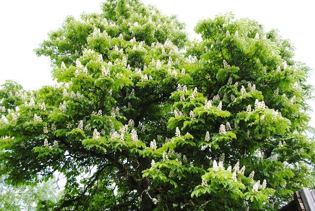Suur kastanipuu