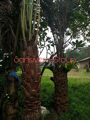 Jual Pohon Kurma Azwa Betina