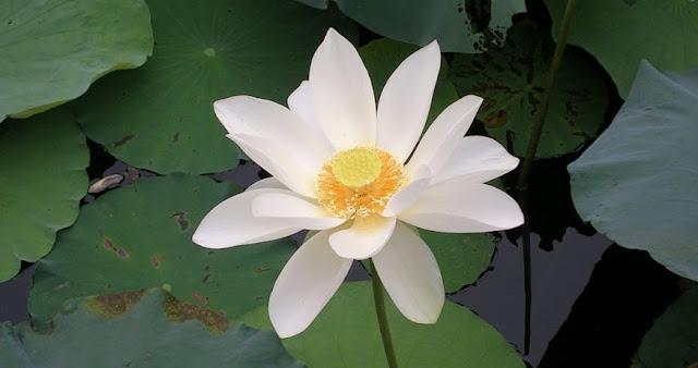 蓮池に咲く蓮の花