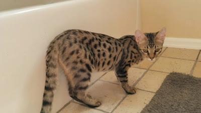 F3 savannah cat Personality, Size, Adoption, Cost