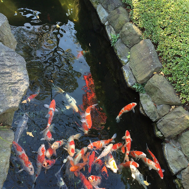 8 Cara Mengatasi Air Kolam Ikan Koi yang Berwarna Hijau - Arafuru
