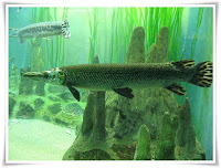 Gar Fish Animal Pictures