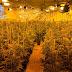 Dos detenidos, 712 plantas y 18 kilos de cannabis incautados en Olías del Rey