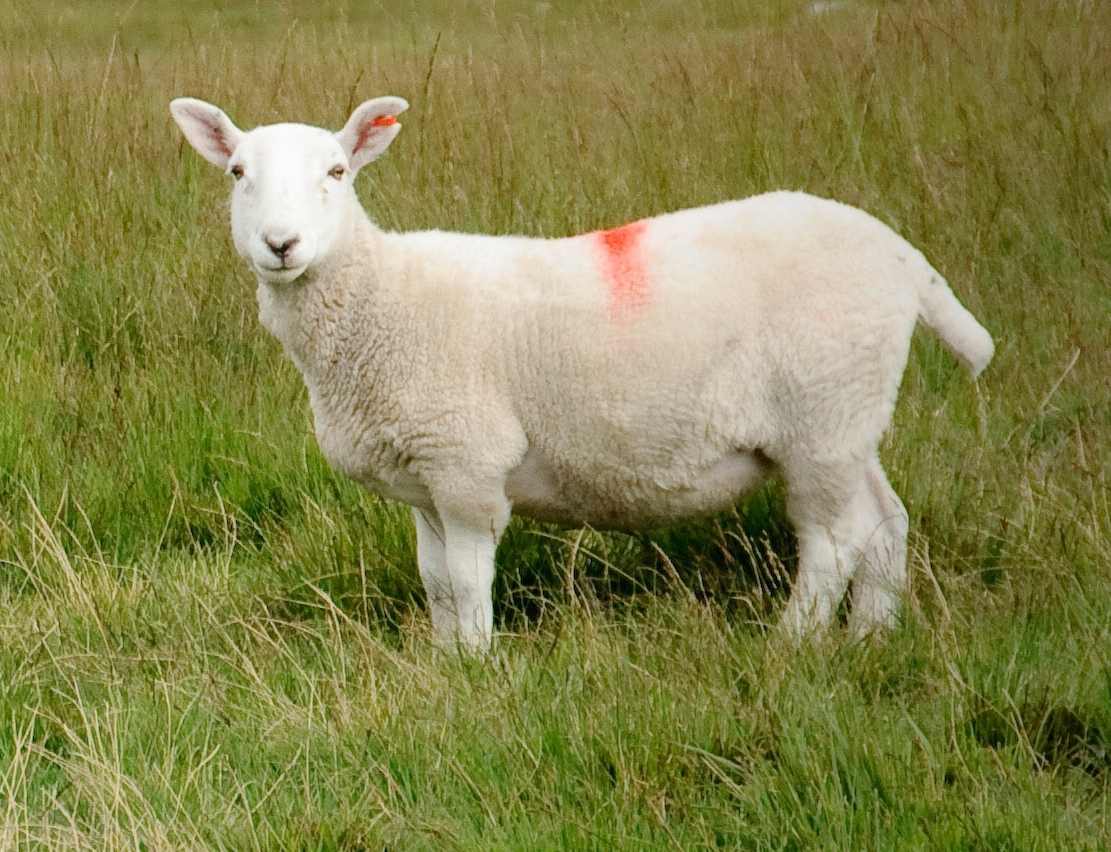 sheep, sheep farming, sheep farming business, sheep picture