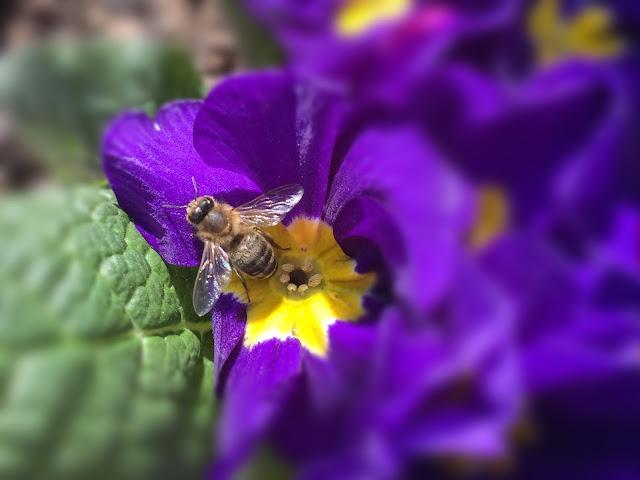 Biene auf Primel auf Genussbalkon