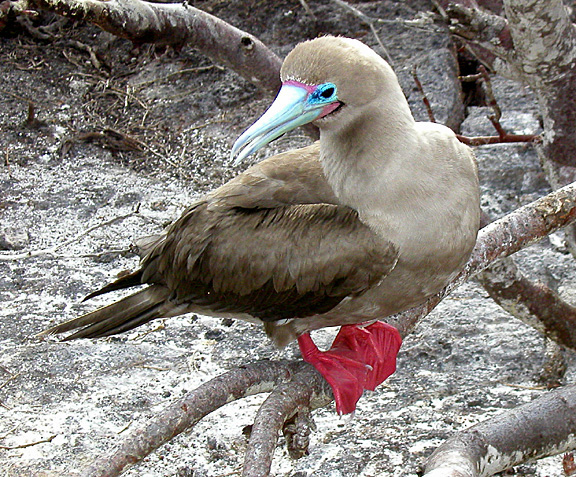 All About Wild Life Information: booby Info and Pictures - photo#19
