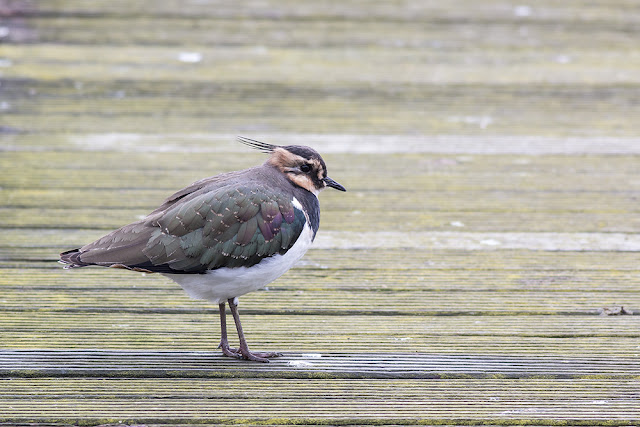 Lapwing on Pontoons
