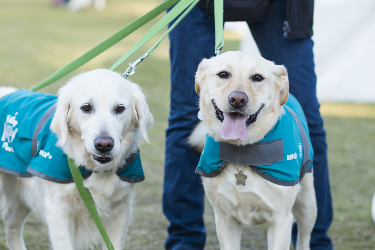RSPCA Million Paws Walk 2015 - Two Labrador Retrievers walking