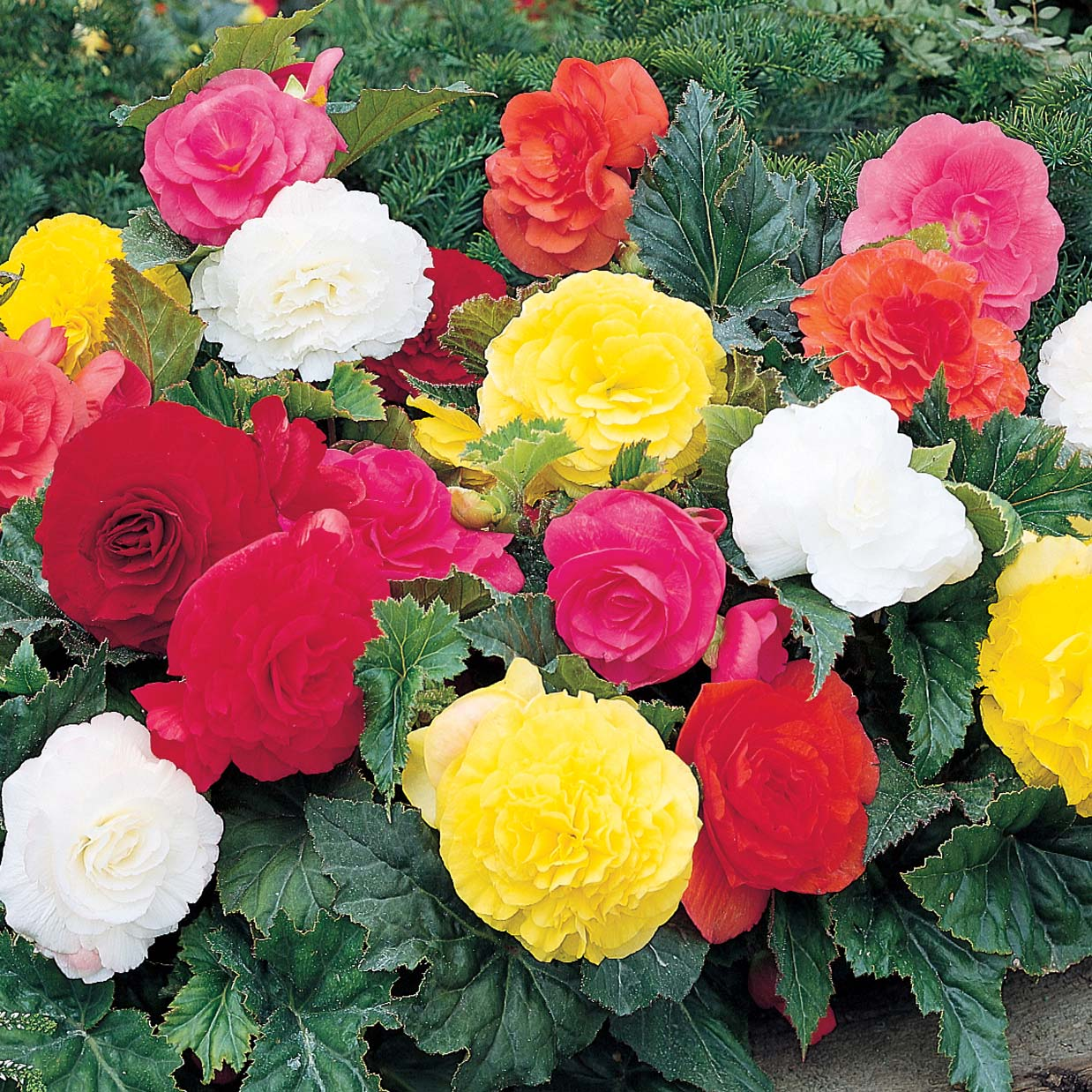 Himalayan Flower Nursery Begonia Bulbs