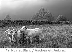 http://www.laurentbessol-photographies.fr/p/vaches-aubrac.html