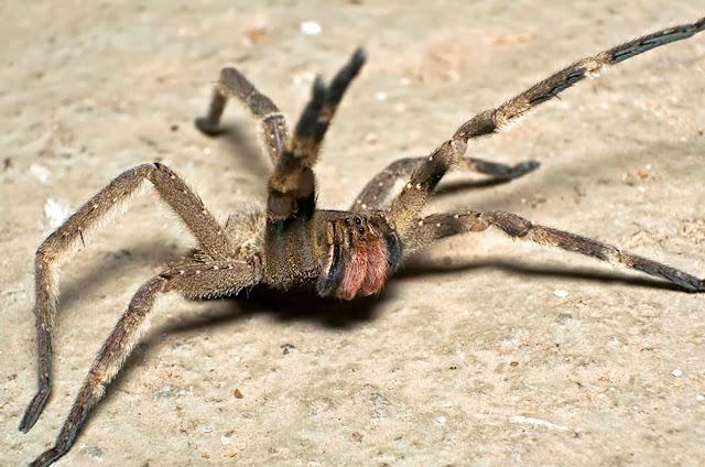 a aranha mais nenenosa do mundo