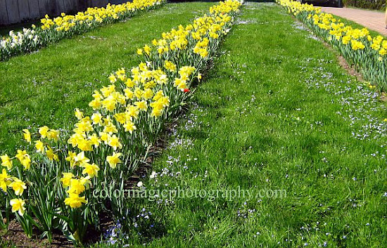 Rows of yellow daffodils