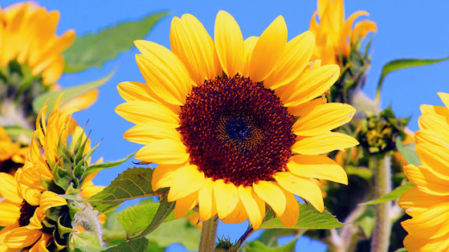 sunflower ke fayde