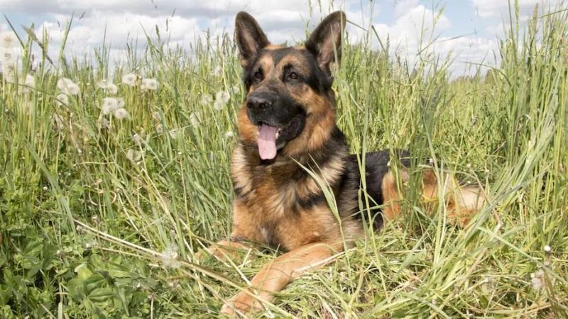 Anjing Penyelamat, Pemilik: 'She Is My Hero' Dia Menyelamatkan Saya Setelah Menderita Stroke