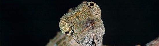 Camaleão - Olhos 360 graus