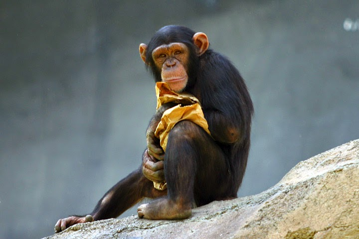 معلومات هامه عن الشمبانزى بالصور والفديو