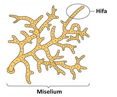 miselium jamur