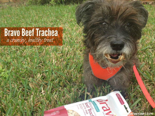 Oz the Terrier enjoys a Beef Trachea Chew by Bravo Pet Foods