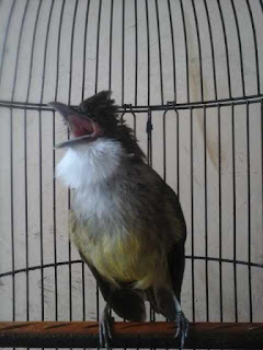Burung Cucak Jenggot -  Mengatasi Burung Cucak Jenggot Over Birahi yang Benar - Penangkaran Burung Cucak Jenggot