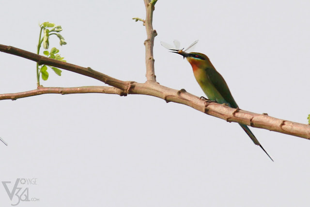 Blue-tailed bee-eater with its favorite food damselfly/dragonfly