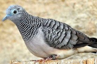 Pakan Untuk Burung Perkutut Lokal gacor
