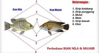 Perbedaan Fisik Ikan Nila dan Ikan Mujair
