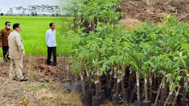 Prabowo Mau Tanam Singkong di Lumbung Pangan 60 Ribu Hektare