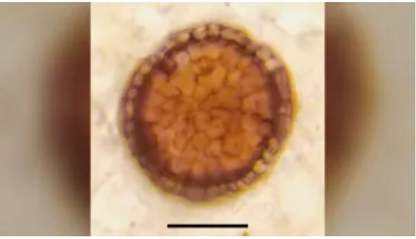 Espécime de holótipo Bicellum brasieri.