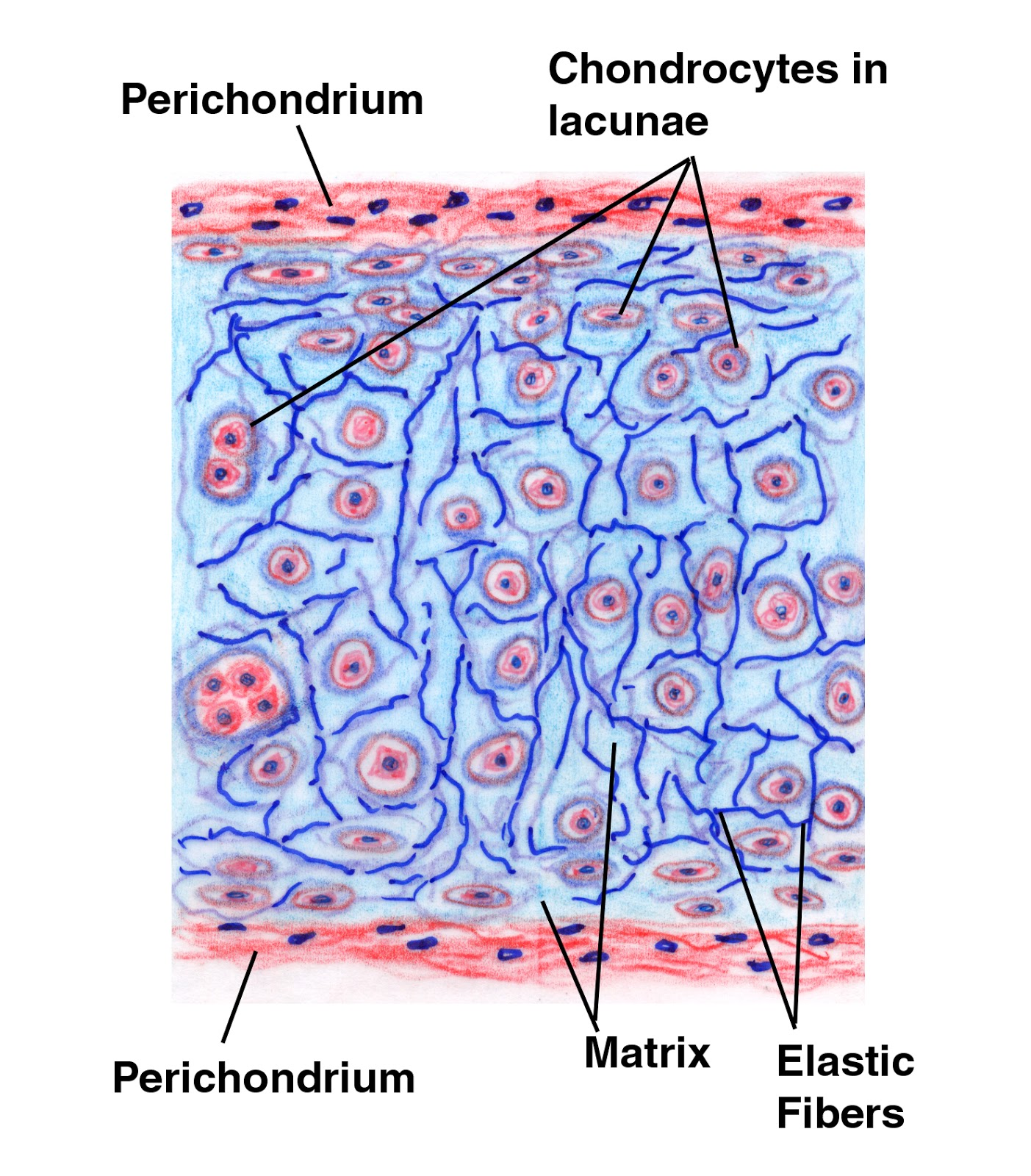 diagram of elastic tissue hyaline cartilage | ace entrance exam blog #2