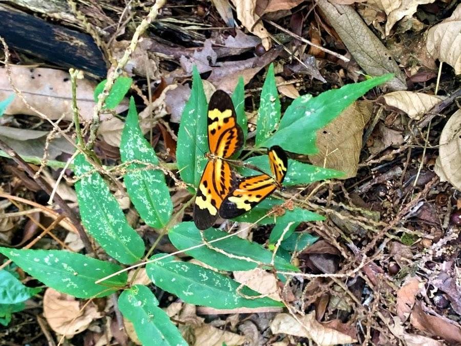 duas borboletas laranjas