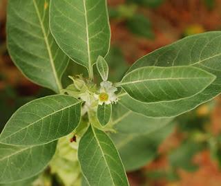 Ashwaganda, potent anti-stress remedy of ayurvedic medicine