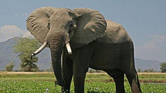 gajah semak afrika, gajah hutan afrika, gajah kartun, gajah asia, gajah india, gajah animasi, download video gajah, gajah terbesar di dunia