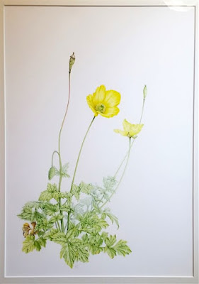 Meconopsis cambrica - Welsh Poppy©2018 Polly o'Leary