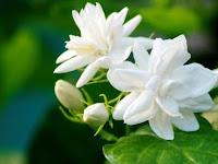 8 Fakta Unik dari Bunga Melati, Si Puspa Bangsa yang Fenomenal