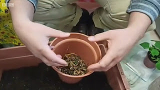 Adding woodchips to the pots