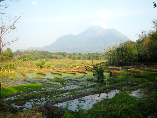 Rice fields & volcano in East Java, Indonesia